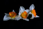 Trio of flowers on black background