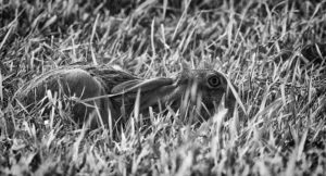 Brown hare hiding