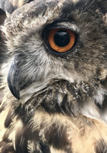 Eagle owl detail