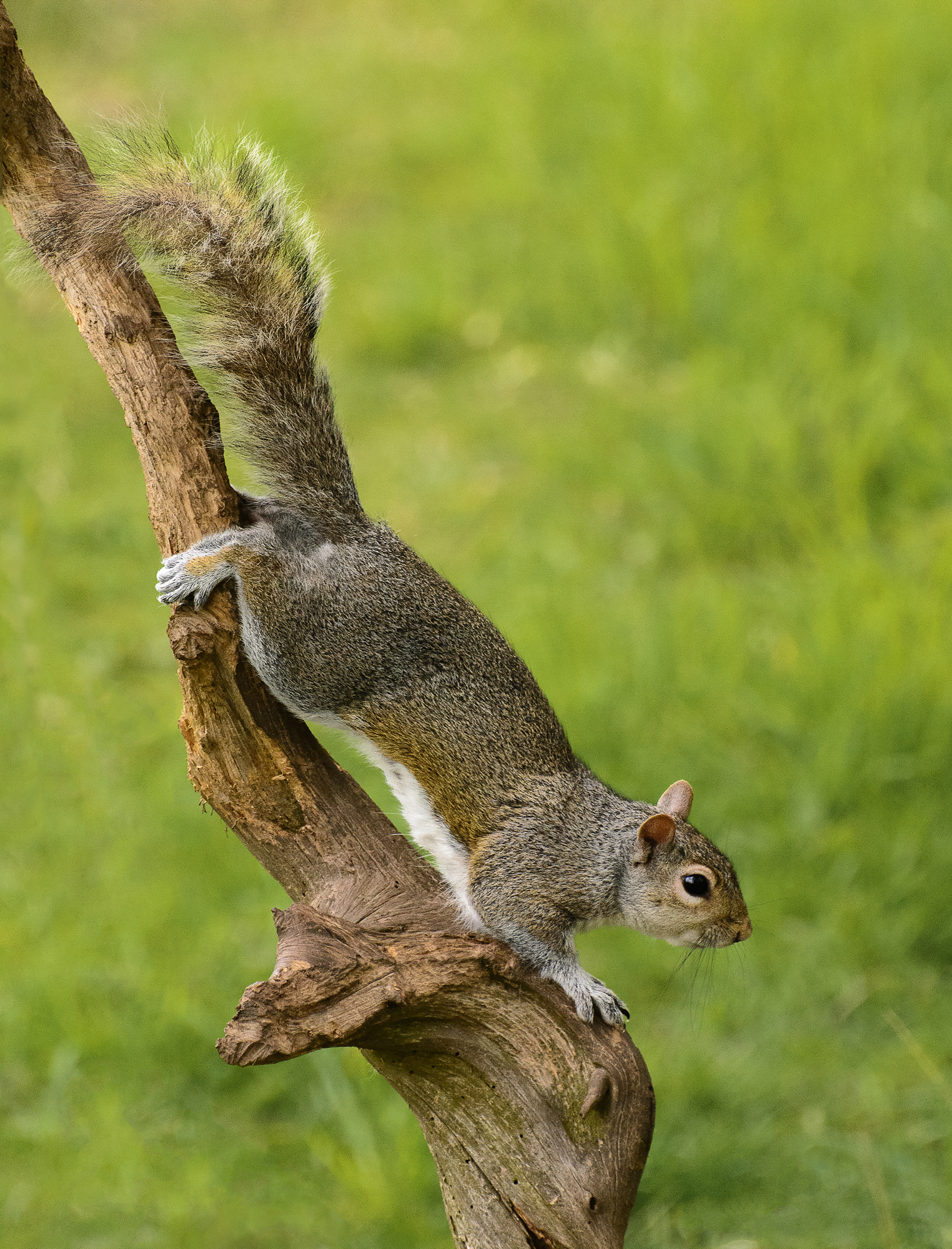 Grey squirrel clamber