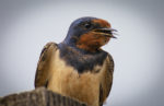 Swallow perched