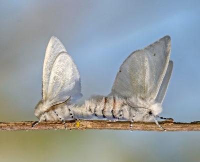 White satin moths mating