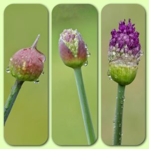 Allium Evolution