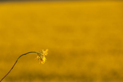 A Rapeseed Flower with a field of repaseeds in the background